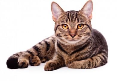 Enfermedad del Tracto Urinario Inferior Felina